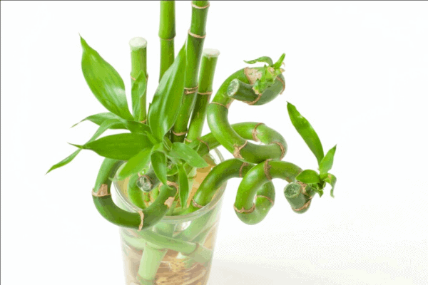 lucky bamboo bedroom plant