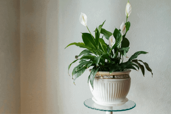 peace lily bedroom plant