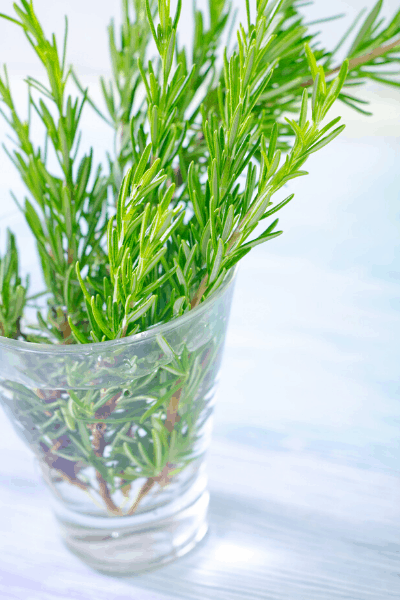 rosemary INDOOR PLANTS THAT GROW IN WATER