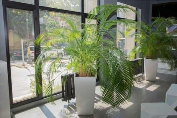 areca fern air purifying plants