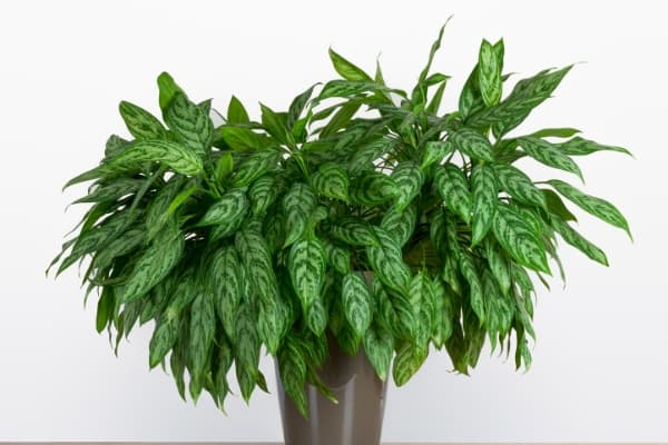 chinese evergreen air purifying plants