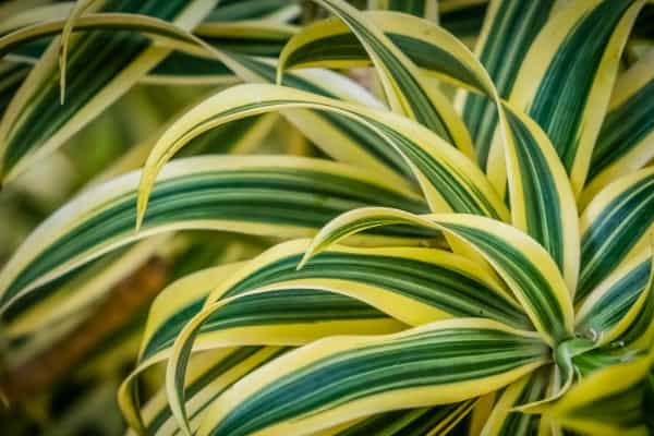 dracena air purifying plants
