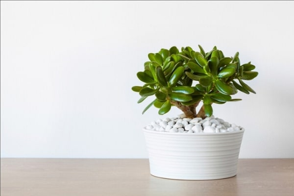air purifying money plant
