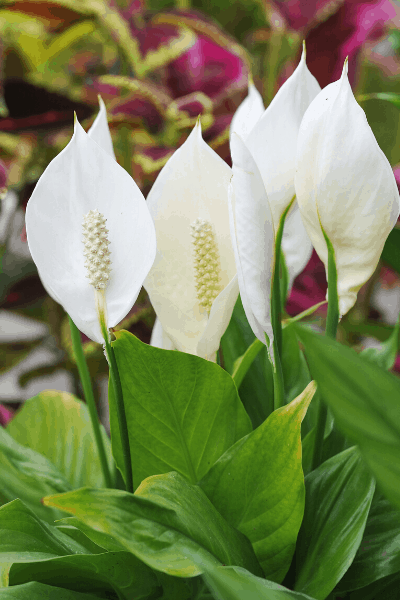 peace lily growing in water