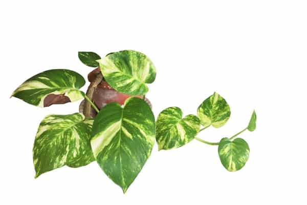 pothos air purifying plants