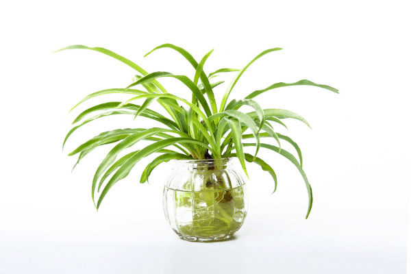 spider plant growing in water