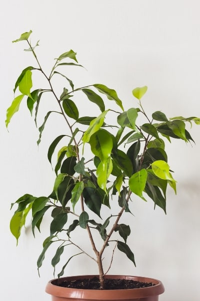 weeping fig air purifying plants